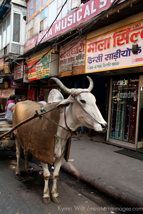 Asia, India, Delhi. Ox pulling cart, Chandni Chowk.