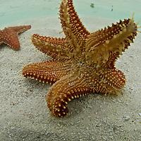 Seastar, San Blas Islands.