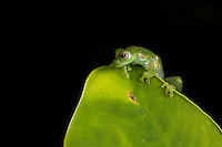Emerald glass frog, Espadarana prosoblepon, in the Choco Department of Colombia