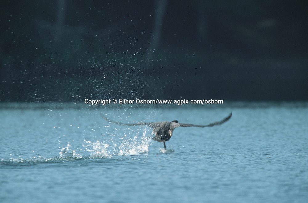 Common Loon learning to fly