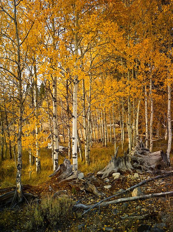 Aspens in fall, Boulder Mountains, near Sun Valley Idaho
