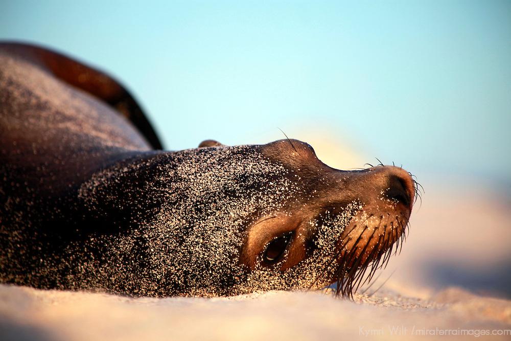 South America, Ecuador, Galapagos. Sea Lion on Mosquera Island.