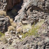 Big Horn Sheep camoflauged in The Black Canyon, Nevada.