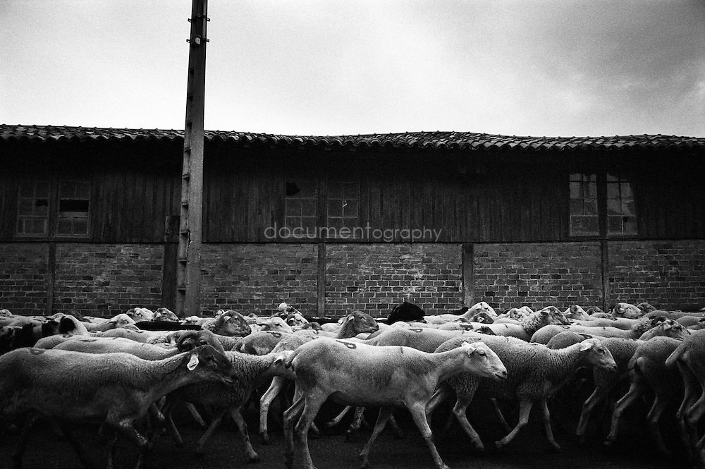 The flock of sheep during the summer transhumances in the valley of Bethmale in the Pyrenees, France.
