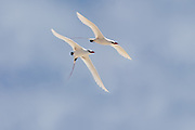 Red-tailed Tropic birds in flight 2