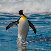 A King Penguin emerges from the South Atlantic onto shore on South Georgia [Island] in the South Atlantic.