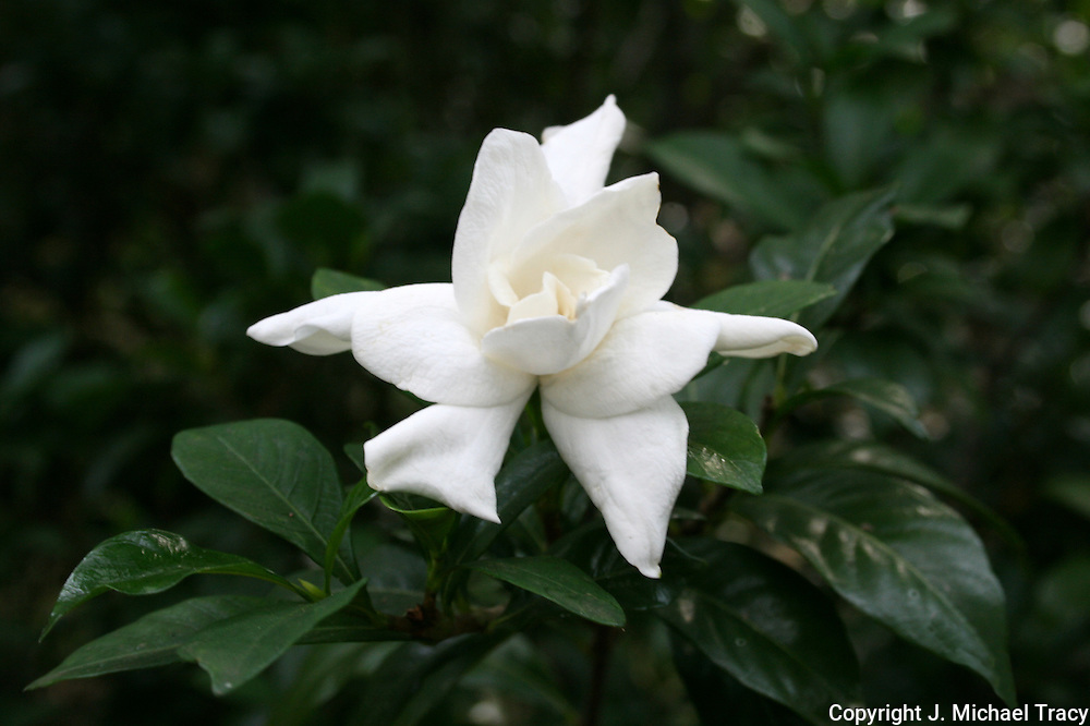Beautiful white giant Gardenia after a summer rain.