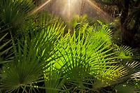 Warm sunbeams bathe the forest understory palmettos in Belize
