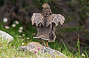 This blue grouse (also known as a sooty grouse) is stretching on a rock beside a trail south of the Obstruction Point parking lot in the Olympic National Park on Washington's Olympic Peninsula