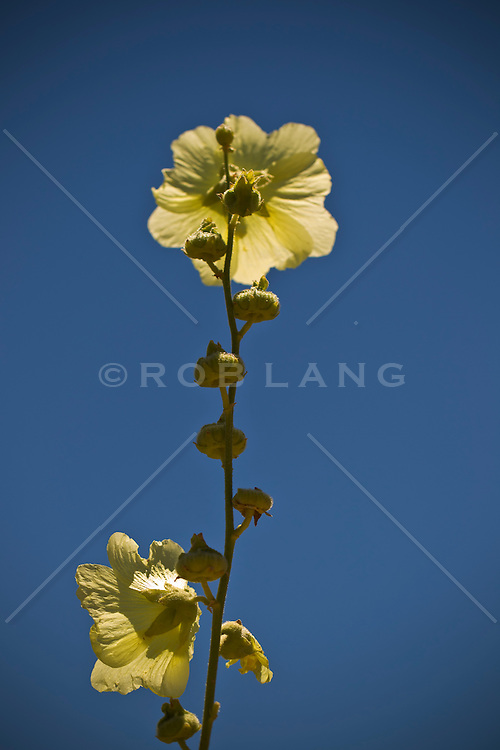 Hollyhock flower in bloom