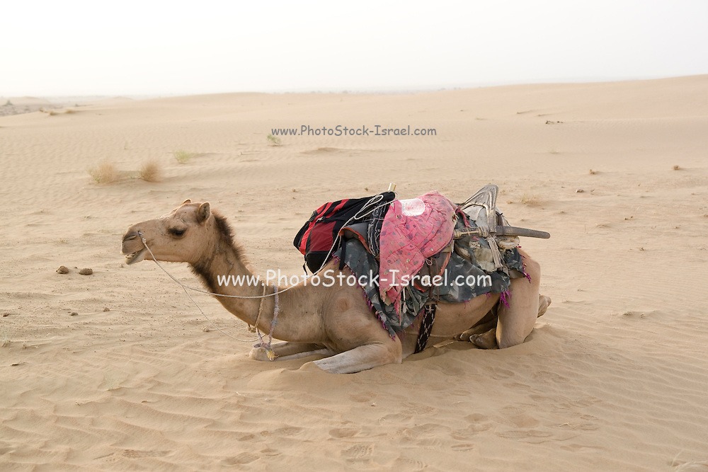 India, Rajasthan, Jaisalmer, camel resting in the sand dunes of the Kanoi region (near the border with Pakistan)
