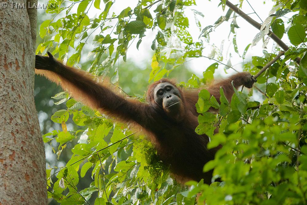 Bornean Orangutan <br />Wurmbii Sub-species<br />(Pongo pygmaeus wurmbii)<br /><br />Unflanged male &quot;Ned&quot; climbing onto Artocarpus withe Ficus stupenda.<br /><br />Gunung Palung Orangutan Project<br />Cabang Panti Research Station<br />Gunung Palung National Park<br />West Kalimantan Province<br />Island of Borneo<br />Indonesia