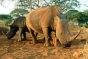 KENYA, AMBOSELI a pair of wild white rhinoceros now  endangered in Amboseli National Reserve