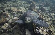 A Galapagos green sea turtle seen on the seafloor near Rabida island, part of the Galapagos islands, Ecuador.