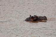 Hippopotamus (Hippopotamus amphibius)<br /> SOUTH  AFRICA: Mpumalanga Province<br /> Mauricedale Game Farm near Malelane<br /> 20.Jan.2006<br /> S25 31.472 E031 36.715 362m<br /> J.C. Abbott #2235