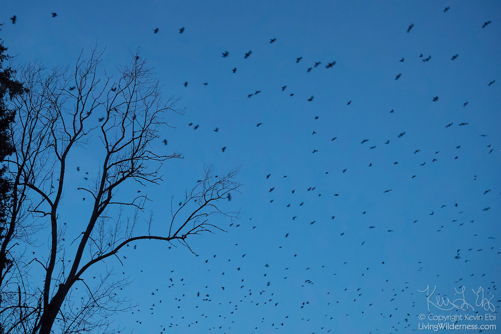 Thousands of American crows (Corvus brachyrhynchos) fill the twilight sky over Bothell, Washington, as they approach their nightly roost. As many as 15,000 crows use the roost during the winter months. A flock of crows is known as a murder.