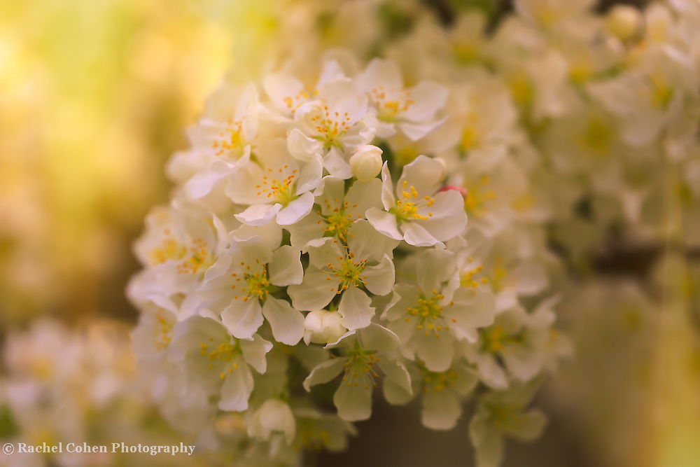 &quot;Give Me that Golden Glow&quot; <br />
