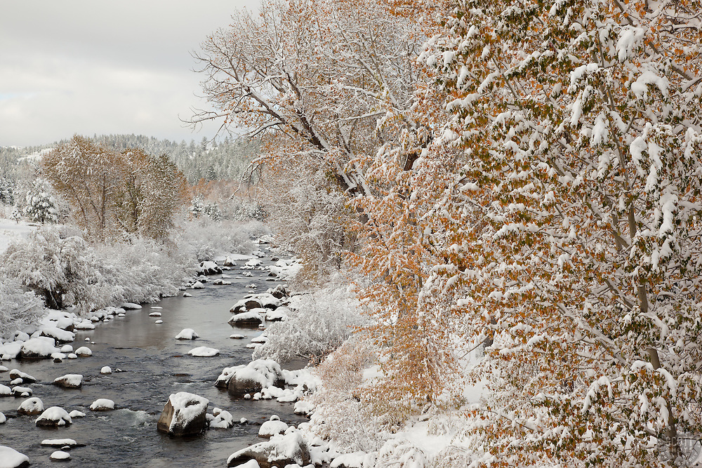 """Snowy Truckee River in Autumn 2"" - Photograph of snow covered cottonwood trees along the Truckee River in Downtown Truckee."