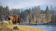 A lone bison bull stands silently along the banks of the Yellowstone River during the summer rut. This large bull has most likely bred  and is leaving the herd to once again lead his solitary existence.