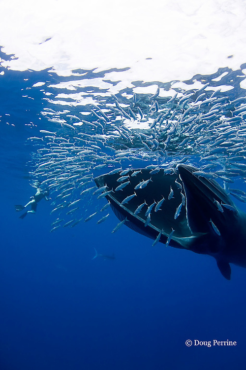 Bryde's whale, Balaenoptera brydei or Balaenoptera edeni, feeding on baitball of sardines or pilchards, Sardinops sagax, off Baja California, Mexico ( Eastern Pacific Ocean ); photographer Nathan Meadows and a striped marlin are in background (whale has rolled on side with lower jaw facing Nathan), MR 400