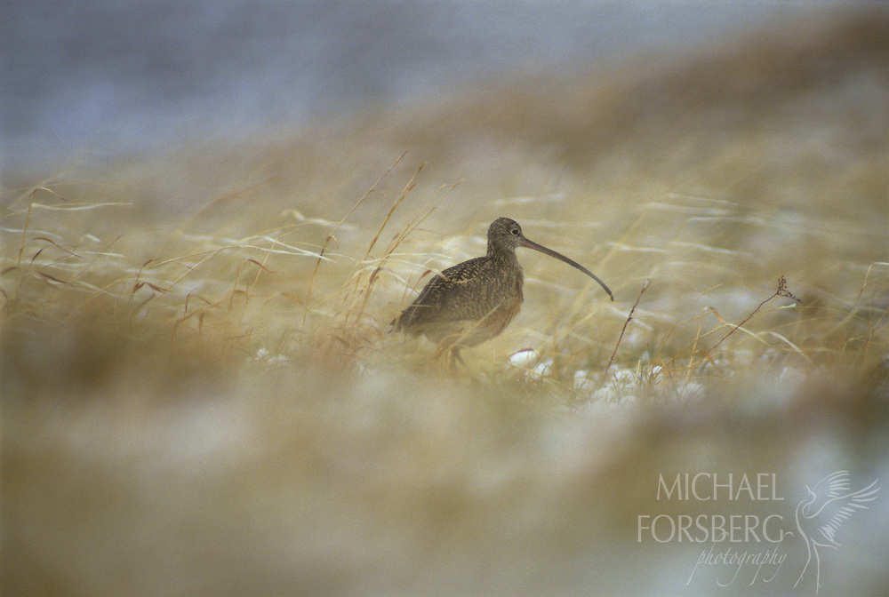 Harbinger of spring, a long-billed curlew moves through the Sandhills prairie during a late season snowstorm.  Nebraska.
