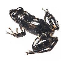 Mantydactylus lugubrus from Fohisikina