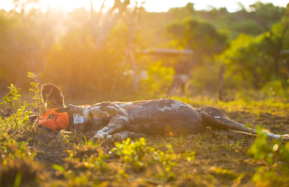 Wild Dog anti-snare collaring on Somkhanda Game Reserve, Mkuze in Kwazulu Natal by Wildlife ACT & Wildlands.