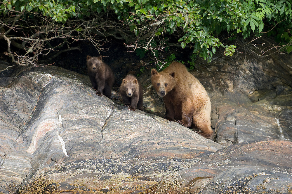USA, Alaska, Tracy Arm - Fords Terror Wilderness,  Brown (Grizzly) Bear (Ursus arctos) walking with spring cubs along of Endicott Arm on summer afternoon
