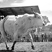 A proud bull does a victory lap after tossing its rider.<br /> Augusta Rodeo 2011.