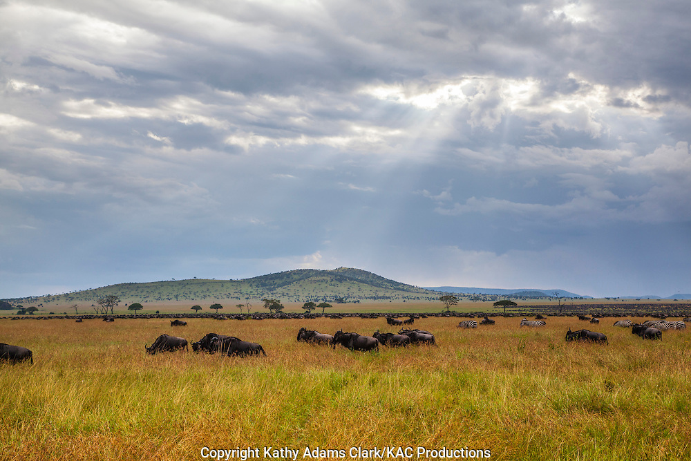 crepuscular rays over the grasslands with wildebeest, Serengeti, Tanzania, Africa.
