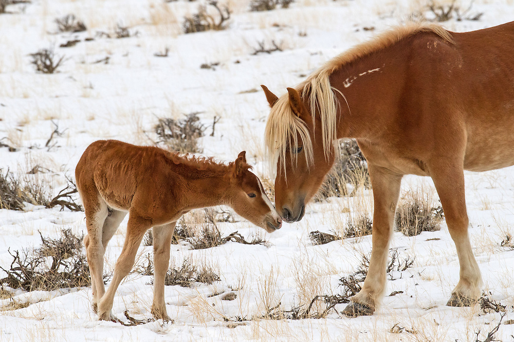 The wild mustang mare, Tigress, and her young foal share a tender moment on a cold January morning.