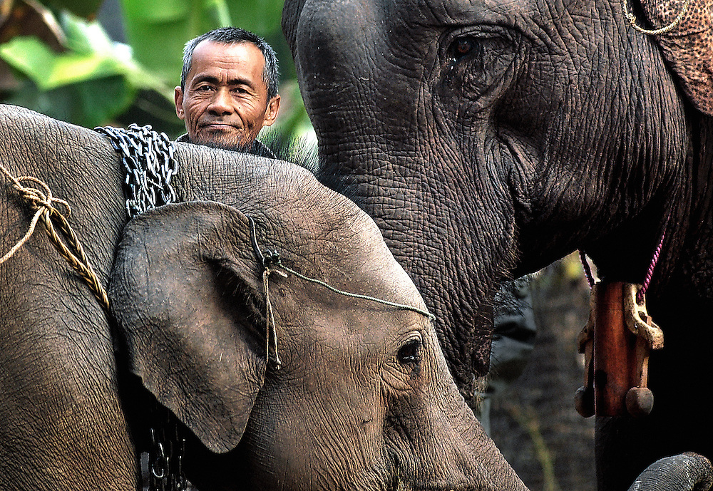 An old mahout with his working elephant and her offspring in training.