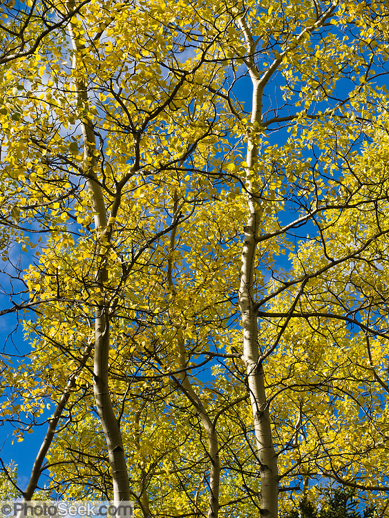 Aspen leaves turn yellow in late August in Denali National Park and Preserve, Alaska.