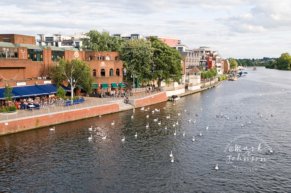 Mute Swans along the waterfront of the River Thames, Kingston-Upon-Thames, London, England, UK