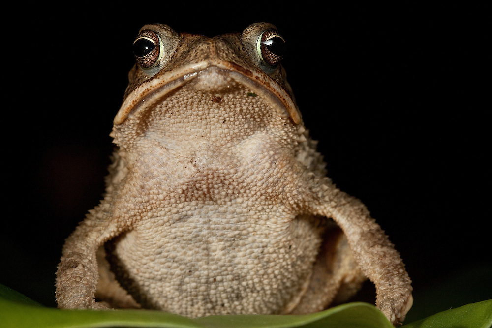 Ollotis valliceps, the first toad to be found on the Sierra Caral of Guatemala