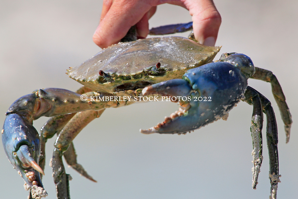Live Kimberley Mud Crab Kimberley Stock Photos Broome