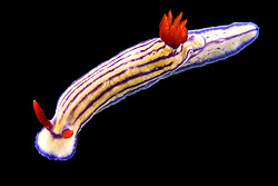 Die Nacktschnecken gehören zu den farbenprächtigsten Tieren im Ozean. Bei vielen von ihnen sind die auffälligen Farben eine Warnung, denn sie sind giftig.