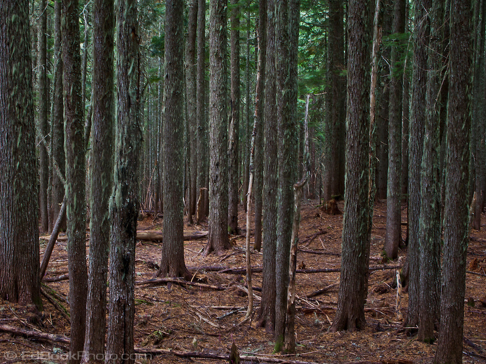 sparse understory of a coniferous forest of Western Hemlock and Douglas Fir in the Tahoma State Forest of Washington, USA.