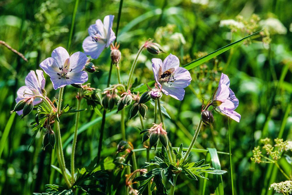 Beemdooievaarsbek, Geranium pratense