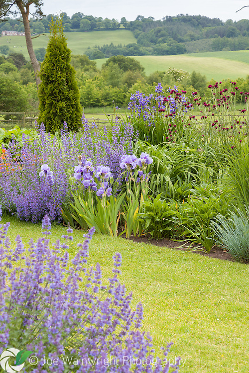 Catmint and irises, in a border at Abbeywood Gardens, Cheshire
