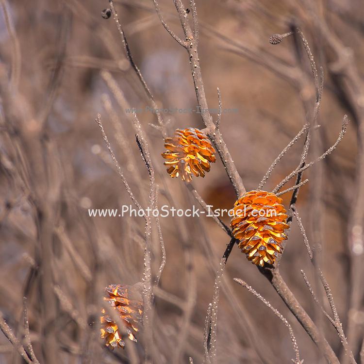 Dry pine cones on a pine tree