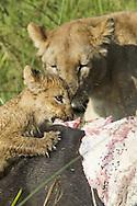 Adult and juvenile African lion eating a freshly killed cape buffalo, Duba Plains, Botswana