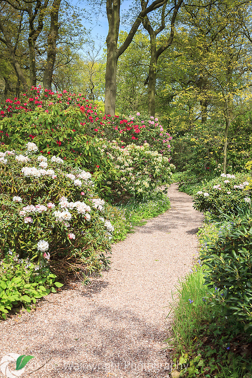 Rhododendrons and bluebells bloom along the path while oaks unfurl their leaves, at Dorothy Clive Gardens, Staffordshire, in May.