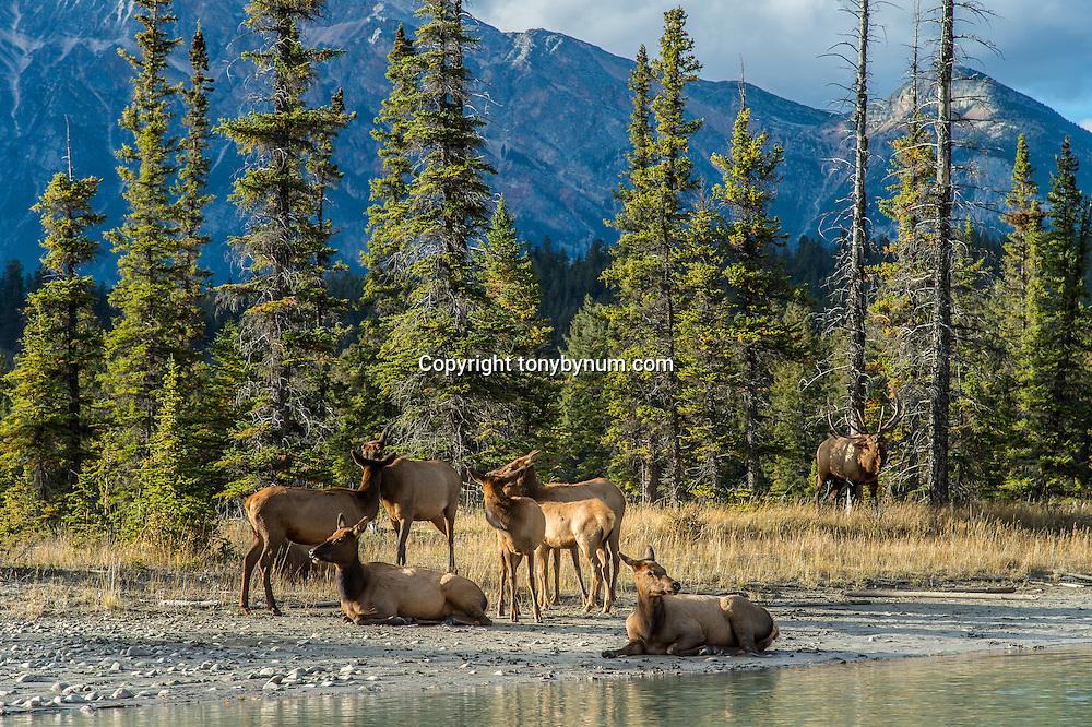 elk herd near river
