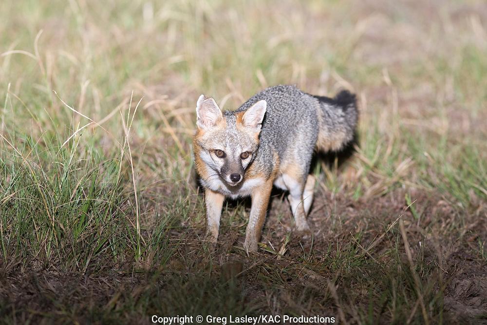 Gray Fox.Urocyon cinereoargenteus.near Elgin,.Bastrop Co., Texas.29 September 2008