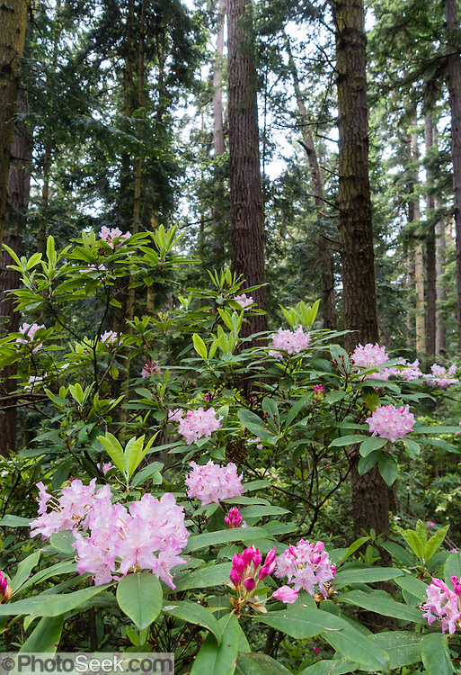 Native rhododendron flowers (in the heath family, Ericaceae) bloom pink-magenta on May 19, 2015 at the southern base of Goose Rock Summit Trail in Deception Pass State Park, on Whidbey Island, in Washington, USA.