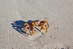 A yellow crab on Adele Island on the Kimberley coast.