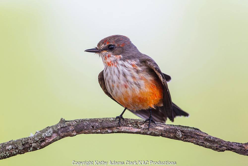 Vermilion flycatcher, Pyrocephalus rubinus, immature male, San Jose Ranch, near Laredo, Texas.