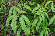 Dicranopteris linearis is known as Old World forked fern, uluhe (Hawaiian), dilim (Filipino), Climbing Fern, and False Staghorn. This fern is a keystone species in Hawaiian ecosystems and often forms deep thickets. Dicranopteris linearis is widely distributed in the wet Old World tropics, Polynesia and the Pacific. The stem grows from the rhizome, branches at a 45° angle, and forms fronds that continue to bud and branch at great length, 20+ feet. Intolerant of shade, it climbs over other plants to reach direct sunlight. As a pioneer species in ecological succession, it can colonize bare lava flows, talus, and abandoned roads. Where humans eliminate the fern, invasive non-native species of plants often move in. This fern photo is from Kilauea Iki pit crater, which last erupted in 1959, in Hawaii Volcanoes National Park, on the Big Island, Hawaii, USA. Established in 1916 and later expanded, the park (HVNP) encompasses two active volcanoes: Kilauea, one of the world's most active volcanoes, and Mauna Loa, the world's most massive shield volcano. The park portrays the birth of the Hawaiian Islands with dramatic volcanic landscapes, native flora and fauna, and glowing flowing lava. HVNP is honored as a UNESCO World Heritage Site and International Biosphere Reserve.