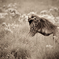 Male gelada baboon, Theropithecus gelada, chasing another baboon on the Guassa Plateau of Ethiopia